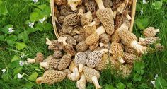 Grow Morel Mushrooms in your yard or garden. Create your own Morel mushroom forest! Sawdust spawn is pre-inoculated with fresh morel mushroom spores. Create your own Morel mushroom patch! Growing Morel Mushrooms, Garden Mushrooms, Edible Mushrooms, Wild Mushrooms, Stuffed Mushrooms, How To Grow Mushrooms, Mushroom Seeds, Mushroom Spores, Mushroom Kits