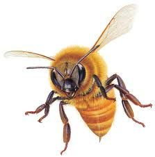 Australian native bees - Google Search