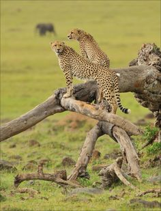 """magicalnaturetour:   """"Cheetahs looking out for prey"""" by Elmar Weiss :)"""