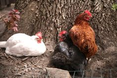 """In a new study conducted by Andy Lamey of Monash University in Australia, researchers who studied chickens conclude that, contrary to earlier studies, chickens do possess """"primitive self-consciousness"""" as identified in human newborns and higher primates. The blind spot in the study is the absence of factoring in simple observation of chickens by those that keep them, revealing a far more complex intelligence in chickens."""