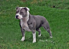 Types of Pitbulls – A great deal of pet enthusiasts like dogs that are of Pit bulls reproduce line to be their animal. Pit bull types have the tendency to be strong, faithful as well as caring pets to their proprietors as well as anybody about, so it is not surprising that the dog of ... Read more