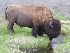 Bison Drinking/ Back hair could be made w/ a sheet of textured clay(nts) Large Animals, Animals And Pets, Cute Animals, Buffalo Pictures, Amor Animal, American Bison, Water Buffalo, Curious Creatures, Types Of Animals
