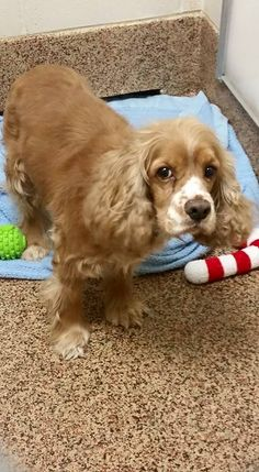 Thomas J. O'Connor Animal Control and Adoption Center Page Liked · April 2 ·     Hello, do you recognize me? I am a male cocker spaniel that was found on Linden St in Chicopee , MA. If you know who I am, please call the shelter asap at 413-781-1484