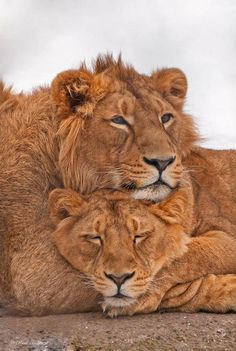 These cuddly lions
