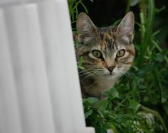 AFRICA - Gato adoptado - Asoka el Grande