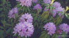 02 Rhododendron 27-05-2012 by Gentcsar, via Flickr