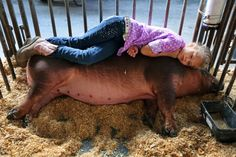 Swine for sale: How kids' livestock shows became a cutthroat (and expensive) business