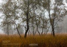Autumn Birches by williammevissen. @go4fotos