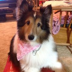 Sheltie just got groomed with her summer cut