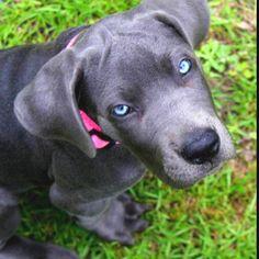 Gotta love my baby Sadie!!! Finally got a blue great dane!