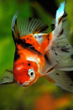 1000 Images About Koi And Ponds On Pinterest Koi