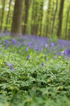 Bluebells & bokeh - phtoos from a day in the dreamy Blue Bell forest in Belgium