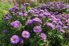 Hvězdnice patří do čeledi Asteraceae – hvězdnicovité, řádu hvězdnicotvaré. Hvězdnice novoanglická pochází ze Severní Ameriky, kde roste ve vlhkých křovinách, na loukách a stepích. Hvězdnice novoanglická 'Purple Dome' je výjimečná tím, že dorůstá jen do výšky 70 cm. Od září do října kvete obrovským množstvím fialových květů s oranžovým středem. Kopinaté, úzké listy sytě zelené barvy krásně doplňují nádherné květy. Hvězdnice novoanglická v zahradě • Ideální hvězdnice do smíšených trvalkových z Tree Identification, Aster, Planting Flowers, Backyard, Purple, Garden, Plants, Grammar, Balcony