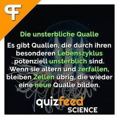 Die unsterbliche Qualle Es gibt Quallen, die durch ihren besonderen Lebenszyklus potenziell unsterblich sind. Wenn sie altern und zerfallen, bleiben Zellen übrig, die wieder eine neue Qualle bilden.   Folge @quizfeed - Wissen clever verpackt 😎 . #wissen #wissenschaft #unsterblich #Qualle #Leben #alt #zelle #Tier #Tiere #meer #fakten