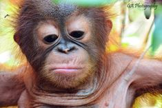 Image result for baby orangutan Save The Orangutans, Baby Animals, Cute Animals, Baby Orangutan, Monkey Business, Palm Oil, Extinct, Primates, Monkeys