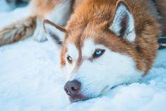 Wonderful All About The Siberian Husky Ideas. Prodigious All About The Siberian Husky Ideas. Siberian Husky Facts, White Siberian Husky, Siberian Husky Puppies, Husky Puppy, Siberian Huskies, Alaskan Husky, Alaskan Malamute, West Highland Terrier, I Love Dogs