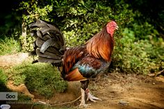 Rooster by JaapMechielsen. Please Like http://fb.me/go4photos and Follow @go4fotos Thank You. :-)