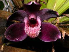 Orchid: Pescatoria cerina