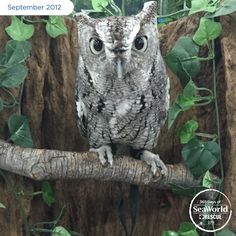 Otis, an Eastern screech owl, was rescued and rehabilitated but, due to the seriousness of his injuries, could not be returned to the wild. He moved to SeaWorld San Antonio for long-term care and became an animal ambassador for his species. #365DaysOfRescue