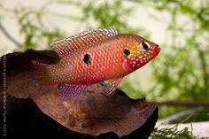 Biotop-Aquaristik Westafrika: Foto des Tages - Hemichromis guttatus Weibchen übe...
