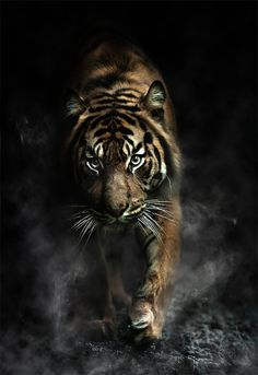 Tiger wildlife photography l AIF