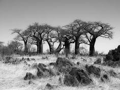 Baobab Paradise near Savuti in black and white - Group of baobab trees in Baobab…