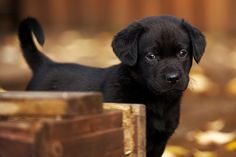 Black lab, so stinkin cute!
