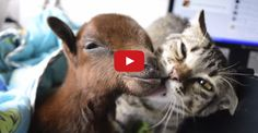 Rescued Cat Helps Nurse Tough Little Goat Back To Health