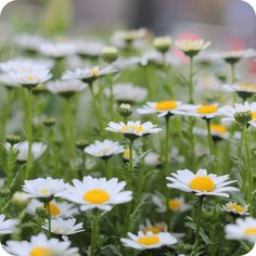 daisy by cafe noHut, via Flickr