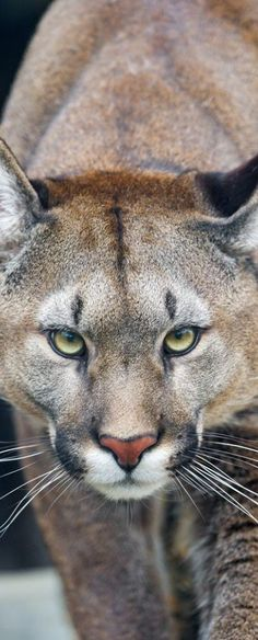 """Puma - Many former prisoners have changed personality upon studying the Bible with JW's and are now helping others to learn Bible truth. In the Paradise God says animals will do """"no harm"""". Isaiah 65:25."""