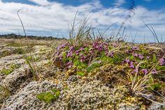 Lave Field Flowers - Iceland, probably Silene acaulis