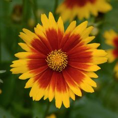 Proven Winners - Uptick™ Gold & Bronze - Tickseed - Coreopsis hybrid red yellow golden yellow with bronze red centers plant details, information and resour. Large Flowers, Cut Flowers, Yellow Flowers, Colorful Flowers, Beautiful Flowers, Beautiful Gardens, Beautiful Things, Border Plants, Golden Flower