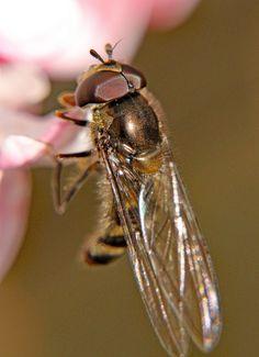 Variabel elfje Meliscaeva auricollis