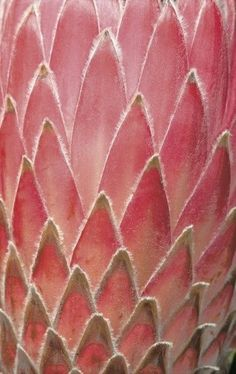 Bracts of a Protea Flower [Family: Proteaceae]; By Heinrich van den Berg From the gallery Art of Nature - on . Patterns In Nature, Textures Patterns, Color Patterns, Nature Pattern, Natural Forms, Natural Texture, Pink Texture, Flower Texture, Protea Flower