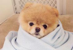 boo cutest dog