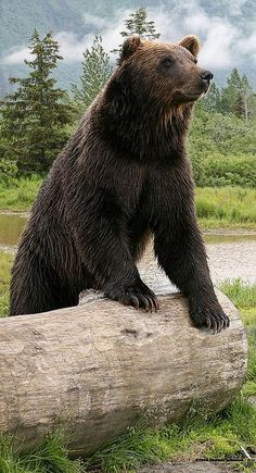 ~~Alaskan Grizzly Bear | Alaskan Wildlife Conservation Center, Portage by Sharon C Johnson, MyRidgebacks Designs~~