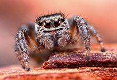 Jumping Spider close up...