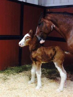 """– Anheuser-Busch has a new member of the Clydesdale family, reported KTVI. The foal named """"Memory"""" joins the heard of around 250 Clydesdale horses. The brewery started with a gift of. Clysdale Horses, Horses And Dogs, Draft Horses, Animals And Pets, Baby Animals, Cute Animals, Breyer Horses, Horse Tack, All The Pretty Horses"""