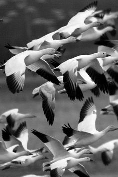 Snow Geese breed on the tundra across the North