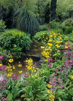Trengwainton Gardens, Cornwall, UK: Stream-side planting in spring with candelabra primula - in sheltered woodland. This is a National Trust Garden.  The use of water in English Gardens:  Water has long played an important role many UK gardens. Some of the best English gardens have been built around natural water features, such as streams running down secluded valleys or tranquil pools in a rural setting.   Many of the grand English landscape gardens use water on a very large scale indeed…