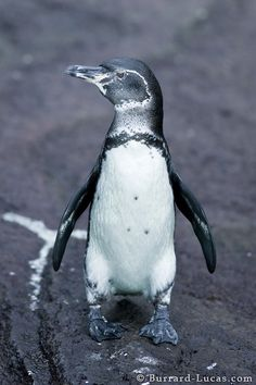 Galapagos Penguin in Ecuador. And I thought penguins only lived in cold climates!