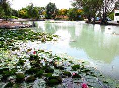 温泉池と睡蓮(Rotorua,NZ)