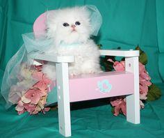Available Teacup Persian Kitten