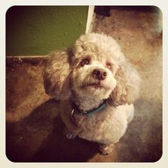 07/29/15-Meet Ozzy, a Petfinder adoptable Poodle Dog | Houston, TX | Ozzy is a seven year old light brown miniature poodle mix and weighs 20 pounds. He is the...
