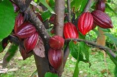 Make Your Own Chocolate: How To Grow Cocoa In A Greenhouse
