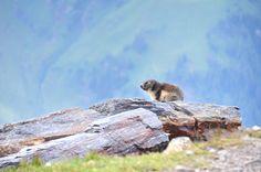 Grossglockner panorámaút, Ausztria Salzburg, Owl, Bird, Animals, Animales, Animaux, Owls, Birds, Animal