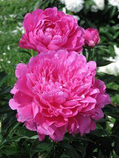 Photo of Peony (Paeonia lactiflora 'Princess Margaret') uploaded by admin Beautiful Flowers Garden, Exotic Flowers, Amazing Flowers, Beautiful Roses, Pretty Flowers, Pink Flowers, Yellow Roses, Pink Roses, Peony Care Tips