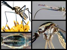 The Secret Lives of Mosquitoes, the World's Most Hated Insects | Smithsonian Voices | National Museum of Natural History | Smithsonian Magazine Secret Life, The Secret, Mosquito Larvae, Mosquitoes, Wild Ones, National Museum, Long Legs, Natural History, Predator