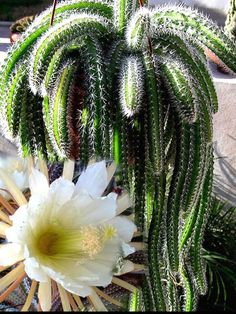 Selenicereus validus is an attractive cactus with stems that branch at the base. Stems are pendant, rope like, up to 16 inches cm). Succulents In Containers, Cacti And Succulents, Planting Succulents, Cactus House Plants, Garden Plants, Indoor Cactus, Orchid Cactus, Cactus Cactus, Cactus Decor