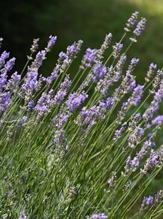 ~ How to grow lavender